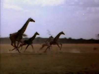 Stampeding giraffes, from King Solomon's Mines