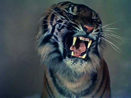 Literally, the tiger...