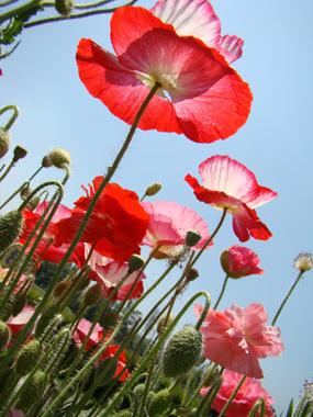 Poppies at the Botanical Gardens in Srinagar