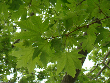 Chinar leaves in summer