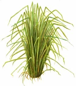 The fragrant vetiver or khus, the roots of which were (and are) used to make 'khus tatties'.