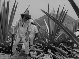 Animas hacks off the agave leaves
