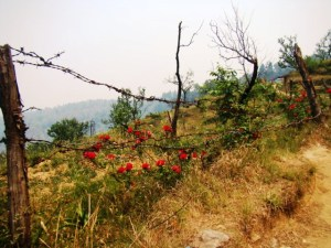 Chaubatia Gardens: red roses, a wire fence, and apple trees.