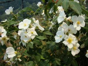Wild roses at Chaubatia.