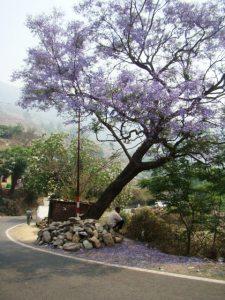 A jacaranda tree in full bloom, on the way up to Ranikhet.