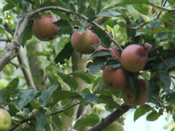 Early apples in an orchard near Manali.