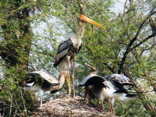 Keoladeo Ghana, painted storks: a parent watches over its young.