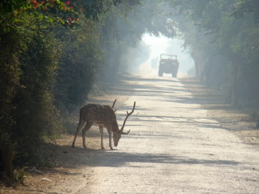 Keoladeo Ghana: a spotted deer stag steps out for a quick nibble.