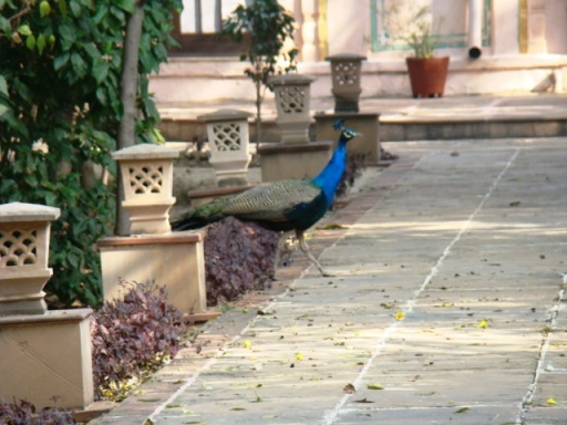 At The Bagh, a peacock crosses a stone path, hurrying from one patch of trees to another.