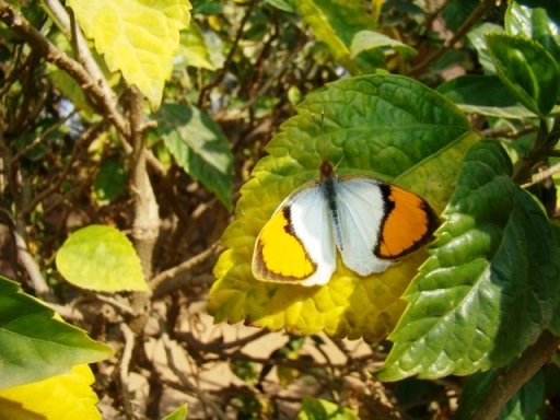 At The Bagh, a white orangetip butterfly.